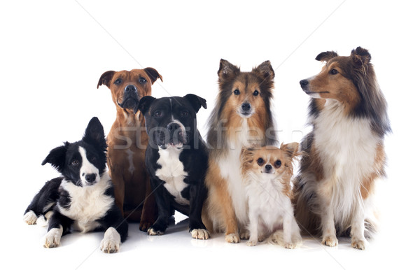 six dogs Stock photo © cynoclub