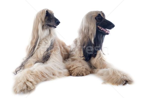 afghan dogs Stock photo © cynoclub