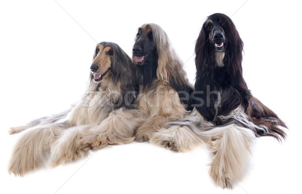 afghan dog Stock photo © cynoclub
