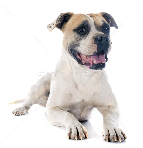 Amerikai bulldog fehér állat bulldog fehér háttér amerikai Stock fotó © cynoclub