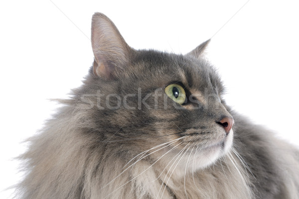 Perzische kat witte groene hoofd huisdier geïsoleerd Stockfoto © cynoclub