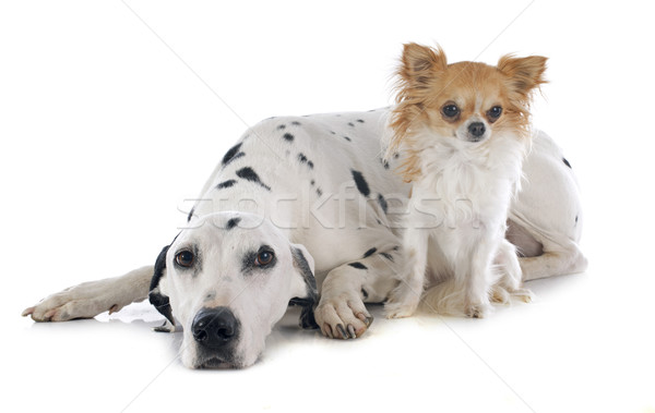 Dalmata kutya fehér férfi díszállat izolált Stock fotó © cynoclub