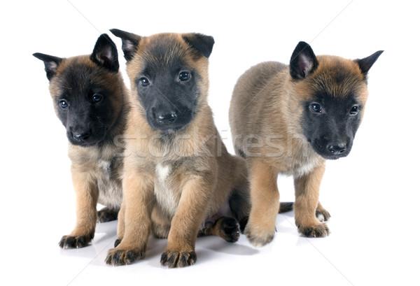 puppies malinois Stock photo © cynoclub
