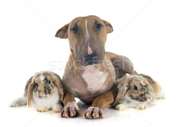 bull terrier and rabbit Stock photo © cynoclub