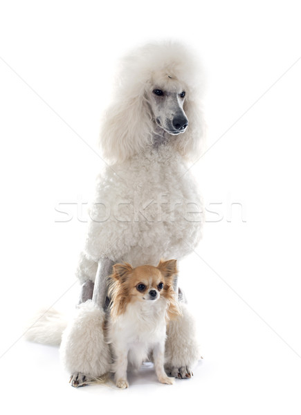 Blanche norme caniche chien chiot animal Photo stock © cynoclub
