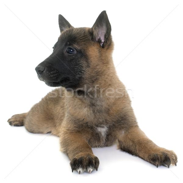 puppy belgian shepherd malinois Stock photo © cynoclub