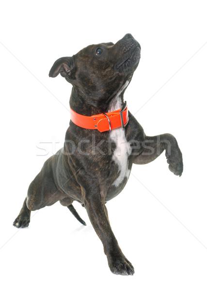 Zdjęcia stock: Byka · terier · biały · czarny · szczeniak · skoki