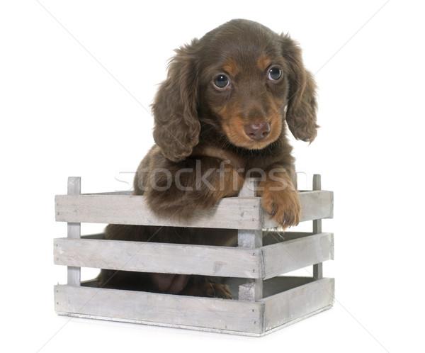 puppy dachshund  in studio Stock photo © cynoclub