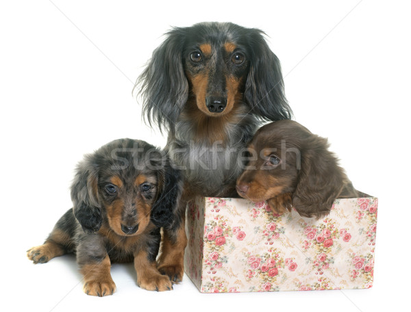 three dachshund  in studio Stock photo © cynoclub