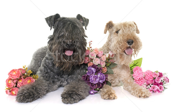 kerry blue terrier and lakeland terrier Stock photo © cynoclub