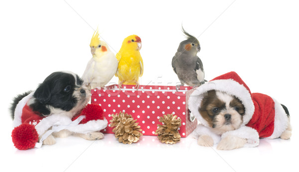 cockatiel and dog on box Stock photo © cynoclub