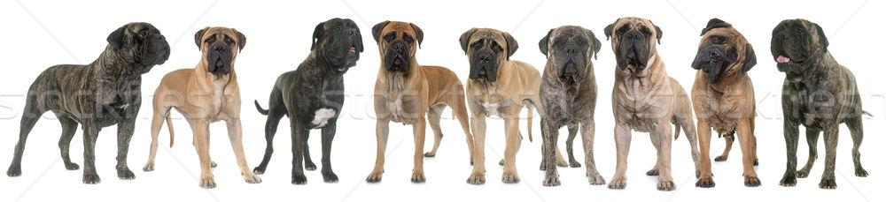 бык студию девять собака группа молодые Сток-фото © cynoclub