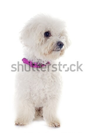white poodle in studio Stock photo © cynoclub