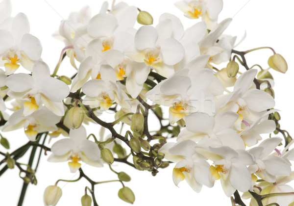 white orchids in pot Stock photo © cynoclub