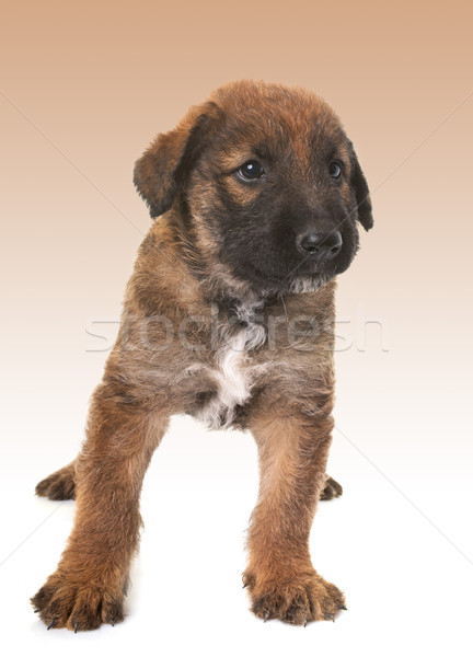 子犬 犬 動物 ストックフォト © cynoclub