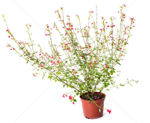 Salvia grahamii hot lips Stock photo © cynoclub