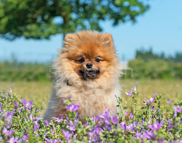 pomeranian spitz in flower Stock photo © cynoclub