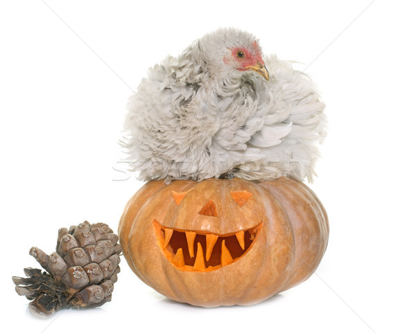 pumpkin of halloween and chicken Stock photo © cynoclub
