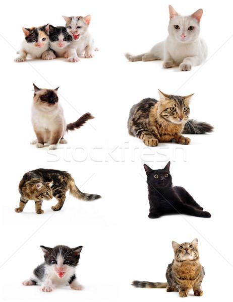 Stok fotoğraf: Kediler · stüdyo · kedi · yavrusu · beyaz · kedi · genç
