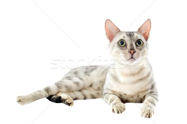 Bengalski kot portret biały zwierząt Zdjęcia stock © cynoclub