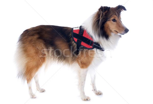 shetland dog and harness Stock photo © cynoclub