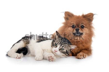 Stock photo: maine coon cat and cuddly toy