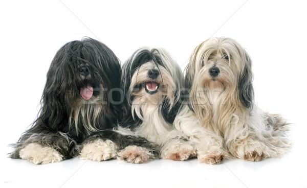 three Tibetan terrier Stock photo © cynoclub