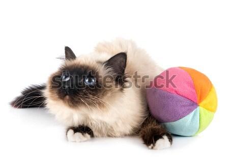 экзотический короткошерстная кошки белый ПЭТ Сток-фото © cynoclub