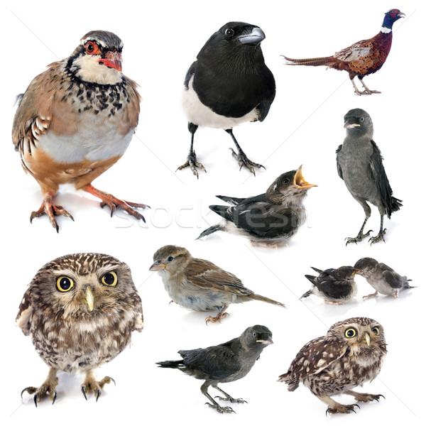 Groupe sauvage oiseaux européenne studio Photo stock © cynoclub