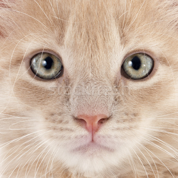 Maine kedi yavrusu portre beyaz kedi Stok fotoğraf © cynoclub