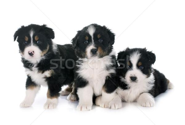 子犬 オーストラリア人 羊飼い 白 犬 グループ ストックフォト © cynoclub