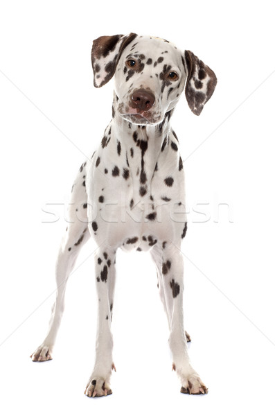 young female dalmatian Stock photo © cynoclub
