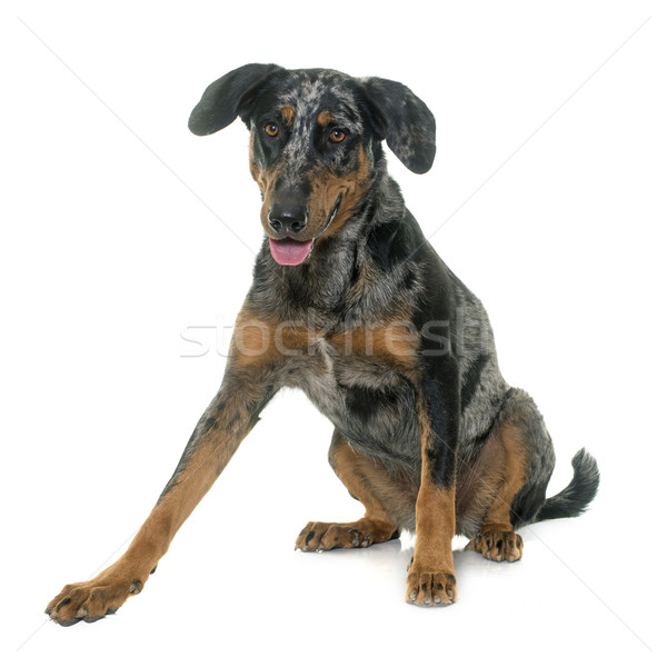 female harlequin beauceron Stock photo © cynoclub