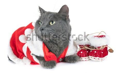 dressed maine coon kitten Stock photo © cynoclub