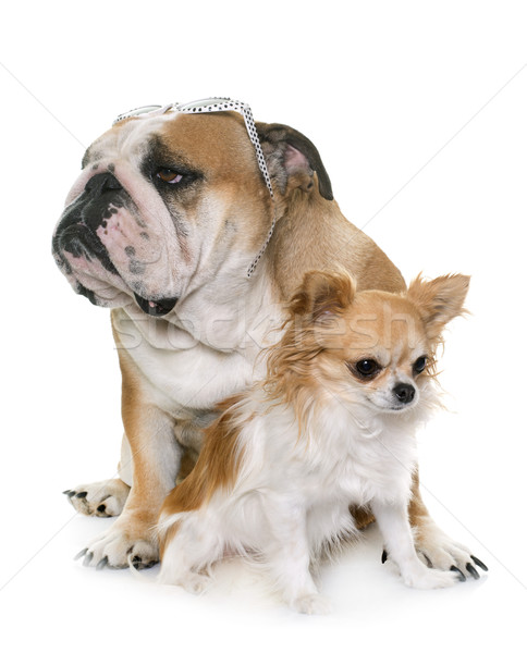 english bulldog and chihuahua Stock photo © cynoclub