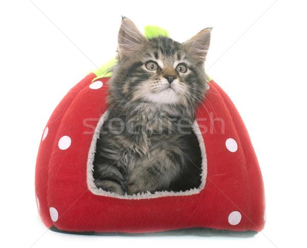 Stockfoto: Maine · kitten · witte · kat · bed · speelgoed