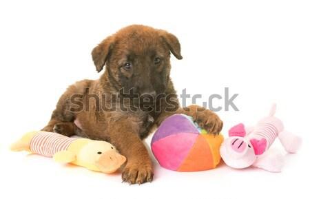 Foto d'archivio: Cucciolo · pastore · belga · cane · palla · animale · studio