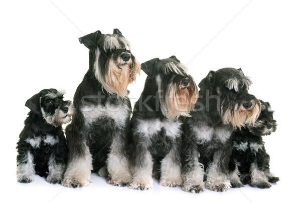 Miniatura rodziny biały psa zwierząt Zdjęcia stock © cynoclub