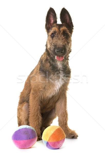 Kutyakölyök belga juhászkutya labda fiatal állat játszik Stock fotó © cynoclub