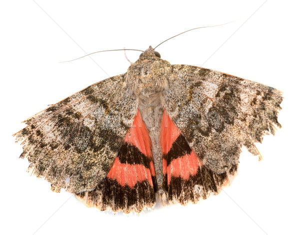Red underwing butterfly Stock photo © cynoclub
