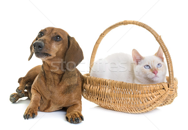 dachshund and kitten Stock photo © cynoclub