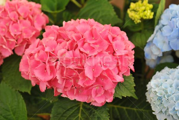 pink  Hydrangea (Hortensia) Stock photo © cynoclub