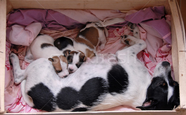 female and her puppies Stock photo © cynoclub