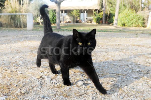 黒猫 美しい 徒歩 庭園 目 猫 ストックフォト © cynoclub