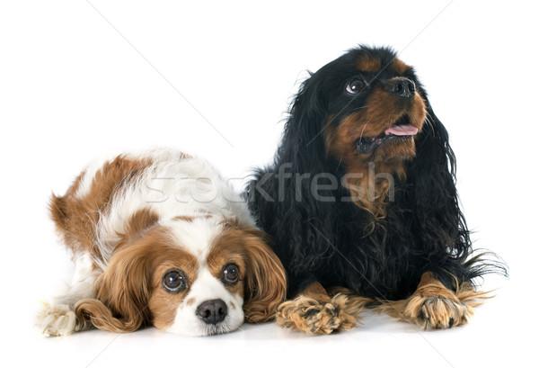 two cavalier king charles Stock photo © cynoclub