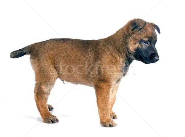 puppy malinois Stock photo © cynoclub