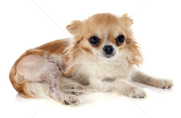 chihuahua and injury Stock photo © cynoclub