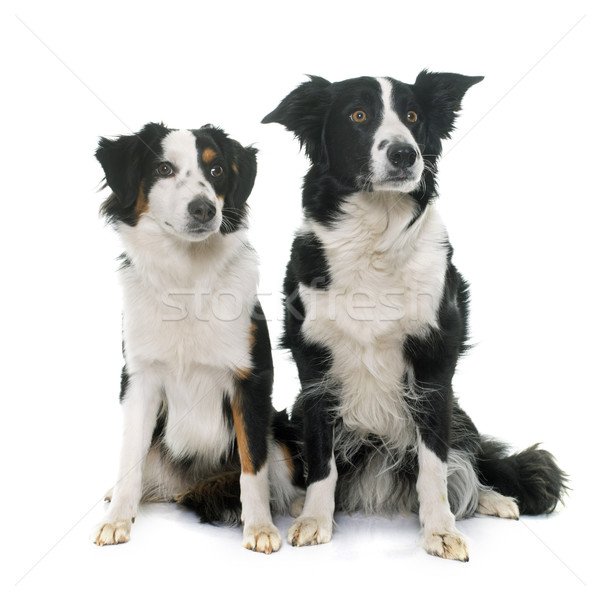 ボーダーコリー ミニチュア オーストラリア人 羊飼い スタジオ 犬 ストックフォト © cynoclub