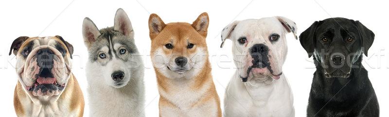 öt fajtiszta kutyák fehér kutya fekete Stock fotó © cynoclub