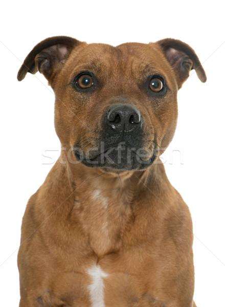 stafforshire bull terrier Stock photo © cynoclub